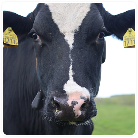 特別な牛だけが出せる牛乳です
